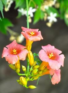 Campsis flower