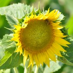 Sunflowers characterise the Umbrian countryside